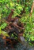 Orang-Utan Trinkwasser vom Fluss im Dschungel Lizenzfreie Stockfotos