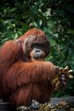 Orang-Utan Utan-Alpha-Männchen mit Bananen in Borneo Indonesien Lizenzfreie Stockfotografie