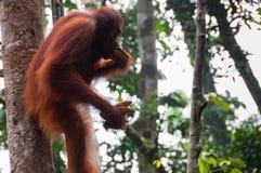 Orang-Utan Utan, das auf einem Baum im Dschungel sitzt Stockfotografie