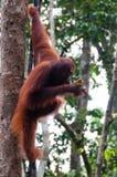 Orang-Utan Utan, das auf einem Baum im Dschungel sitzt Lizenzfreie Stockfotos