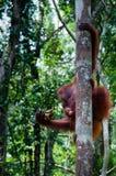 Orang-Utan Utan, das auf einem Baum im Dschungel sitzt Lizenzfreies Stockbild