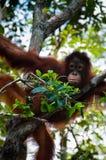 Orang-Utan Utan, das auf einem Baum im Dschungel sitzt Stockfotos