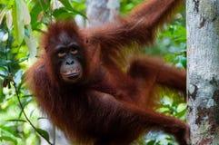 Orang-Utan Utan, das auf einem Baum sitzt Stockbilder