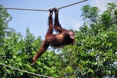 Orang-Utan Utan, das auf einem Seil schwingt Lizenzfreie Stockfotos