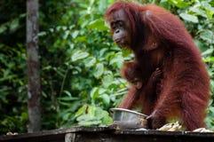 Orang-Utan Utan, das in Borneo Indonesien isst Stockfotografie