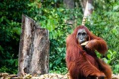 Orang-Utan Utan-Frau mit Bananen in Borneo Indonesien Stockfotos