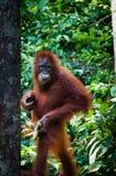Orang-Utan Utang, das in der Hand mit Banane steht Stockbild