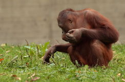 Orang utan. Stock Photo