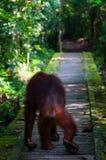 Orang-Utan von hinten das Gehen auf einen Weg Stockbilder