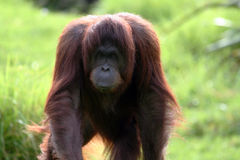Orang utan walking forward Stock Photos