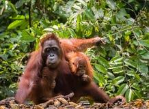 Orang-Utan in wildem lizenzfreie stockbilder
