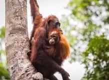 Orang-Utan in wildem lizenzfreie stockfotografie