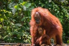 Orang-Utan in wildem lizenzfreies stockfoto
