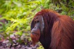 Orang-Utan in wildem lizenzfreies stockbild