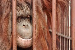 Orang-utan in the zoo Stock Images