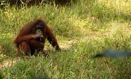 Orang Utan Royalty Free Stock Photo