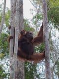 Orang-Utan zwei, der zwischen zwei Bäumen (Indonesien, hängt) Lizenzfreie Stockfotografie