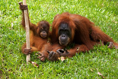 Orang Utangs in Bukit Lawang, Sumatra Indonesia Royalty Free Stock Photo