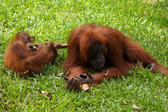 Orang Utangs in Bukit Lawang, Sumatra Indonesia Stock Photos