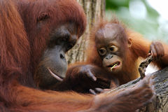 Orang Utans Royalty Free Stock Photography