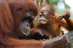 Orang Utans. A family of Orang Utans found together Royalty Free Stock Images