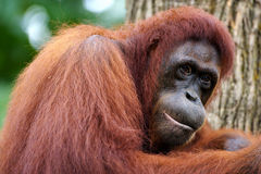 Orang Utans Stock Photo