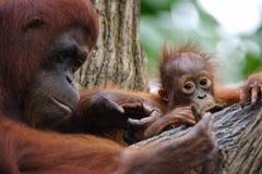 Orang Utans. A family of Orang Utans found together Stock Image