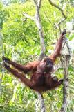Orang-Utans bemuttern und Baby Lizenzfreies Stockbild