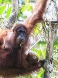 Orang-Utans bemuttern und Baby Stockfotografie