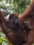 Orang-Utans bemuttern und Baby Lizenzfreie Stockfotos