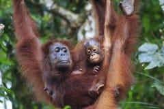 Orang-Utans bemuttern und Baby Lizenzfreie Stockfotografie