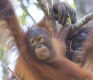 Orang-Utans bemuttern und Baby Stockfotos