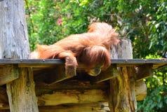 Orang-Utans, die auf einer Niederlassung stillstehen Stockfoto