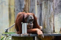 Orang-Utans, die auf einer Niederlassung stillstehen Lizenzfreies Stockbild