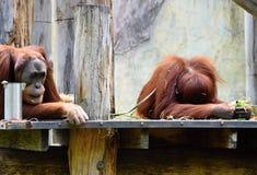 Orang-Utans, die auf einer Niederlassung stillstehen Lizenzfreie Stockfotografie