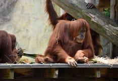 Orang-Utans, die auf einer Niederlassung stillstehen Stockbild