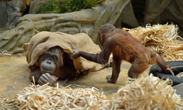 Orang-Utans im Moskau-Zoo Lizenzfreie Stockfotos