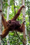 Orang-Utans im Wald in Borneo Stockfoto