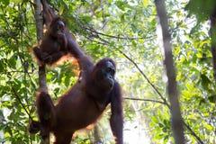 Orang-Utans im Wald in Borneo Stockbild