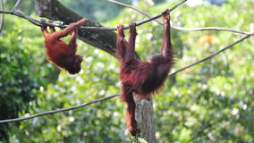 Orang utans swinging in their habitat Stock Image