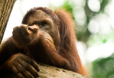 Orangatang. Thinking in the jungle Royalty Free Stock Image