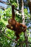 Orangatang; Royalty-vrije Stock Foto's