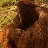 Orangatang. An orangutan sits and contemplates the day at a zoo Stock Photography
