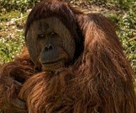 Orangatang. An orangutan sits and contemplates the day at a zoo Stock Image