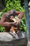 Orangatung Stock Afbeelding