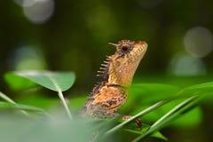 Orange ödla - Calotes emma - Thailand reptilar arkivfoton