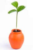 Orange. Sprout of orange in a small pot Royalty Free Stock Images