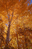 Orange 4. Aspen in fall,trees, Idaho Royalty Free Stock Photography