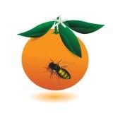 Orange. Stock Image