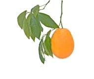 Orange Royalty Free Stock Image